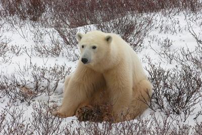 A Polar Bear, Ursus Maritimus by Kike Calvo