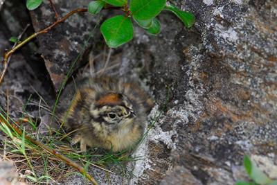 A Ptarmigan Chick, Lagopus Lagopus, in Summer Plumage Sitting in a Nest by Kike Calvo