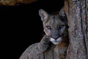 A Puma in Saguaro National Park by Kike Calvo