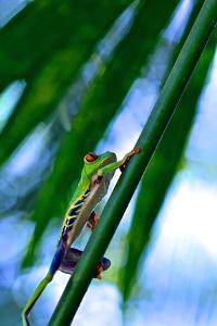 A Red Eyed Tree Frog, Agalychnis Callidryas, Rests on a Leaf at Tortuguero National Park by Kike Calvo