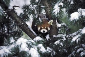 A Red Panda in the Central Park Zoo by Kike Calvo