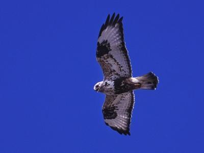A Rough-Legged Hawk, Buteo Lagopus, in the Seal River Area by Kike Calvo