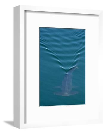 A Smooth Hammerhead Shark, Sphyrna Zygaena, Swims under the Surface in Open Ocean