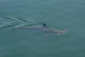 A Smooth Hammerhead Shark, Sphyrna Zygaena, Swims under the Surface in Open Ocean by Kike Calvo