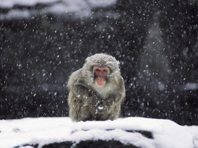 A Snow Monkey in Captivity by Kike Calvo