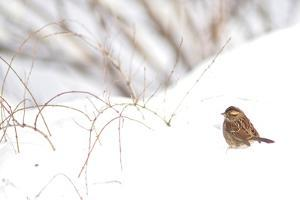 A Sparrow Rests on Snow in Central Park in the Aftermath of Winter Storm Juno by Kike Calvo