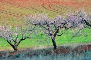 Almond Trees in Bloom by Kike Calvo