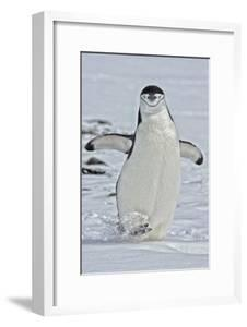 Chinstrap Penguins, Pygoscelis Antarcticus, on the Aitcho Islands by Kike Calvo