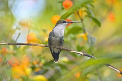 Crowned woodnymph hummingbird, Thalurania columbica. by Kike Calvo