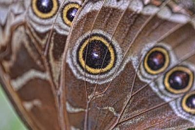 Detail of the Wing of a Blue Morpho Butterfly, Morpho Peleides by Kike Calvo