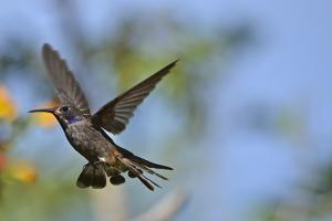 Lesser Violetear in flight, also known as brown violet ear, Colibri cyanotus. by Kike Calvo
