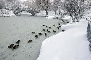 Mallard Ducks, Anas Platyrhynchus, on a Frozen Pond in Central Park by Kike Calvo