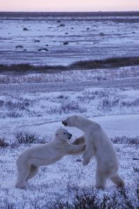Polar Bears, Ursus Maritimus, Sparring in a Tundra Landscape in Winter by Kike Calvo