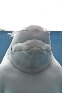 Portrait of a Beluga Whale, Delphinapterus Leucas by Kike Calvo