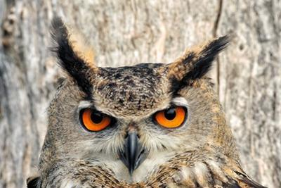 Portrait of an Eagle Owl, Bubo Bubo by Kike Calvo