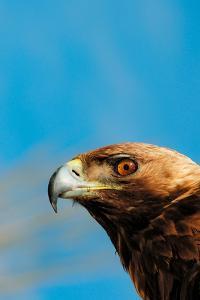 Profile Portrait of a Golden Eagle, Aquila Crysaetos by Kike Calvo