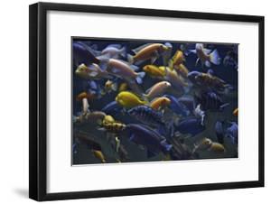 Rift Lake Cichlid Fish by Kike Calvo