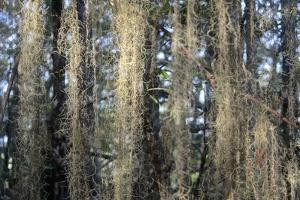 Spanish Moss Hangs from Mangrove Trees on the Tigris River by Kike Calvo