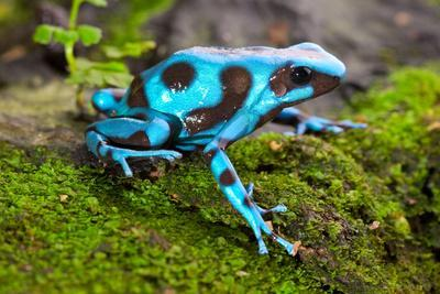 Frog in Tropical Rain Forest Blue Poison Dart Frog Dendrobates Auratus of Rainforest in Panama Beau