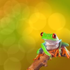 Red Eyed Tree Frog From Costa Rica Rain Forest by kikkerdirk