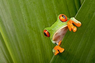 Red Eyed Tree Frog Peeping Curiously Between Green Leafs In Costa Rica Rainforest by kikkerdirk