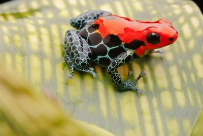 Tropical Pet Frog, Ranitomeya Amazonica