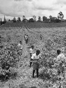 Kikuyu Laborors Pruning Coffee Bushes