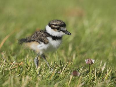 Killdeer Chick (Charadrius Vociferus) in the Grass in Victoria, British Columbia, Canada-Glenn Bartley-Photographic Print