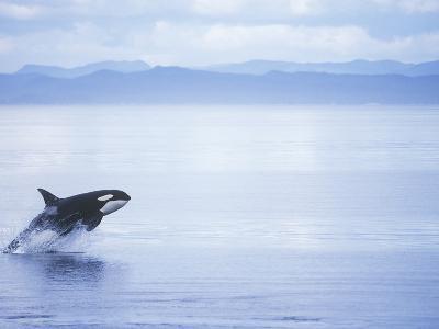 Killer Whale Breaching, British Columbia, Canada.-Jim Borrowman-Photographic Print