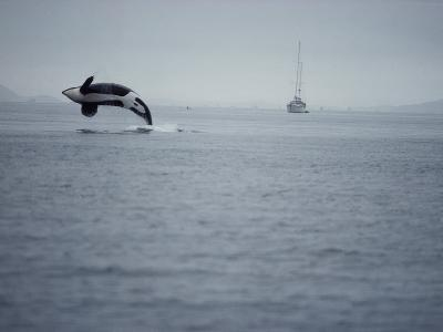 Killer Whale Breaching in Air over Ocean, Boat in Background-Jeff Foott-Photographic Print