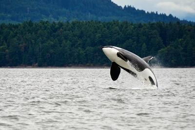 Killer Whale Breaching near Canadian Coast- Doptis-Photographic Print