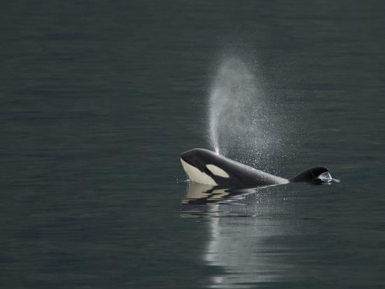 Killer Whale Calf Blows as It Surfaces-Ralph Lee Hopkins-Photographic Print