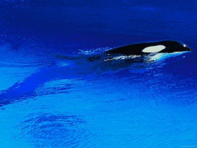 Killer Whale Coming Out of the Surface of the Ocean--Photographic Print