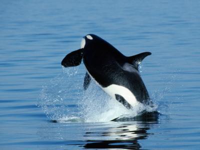 Killer Whale Female Breaching-Jeff Foott-Photographic Print