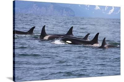 Killer Whale Group in the Wild--Stretched Canvas Print