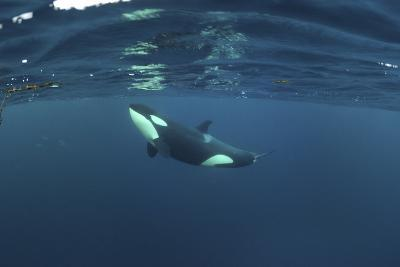 Killer Whale - Orca (Orcinus Orca) Just Below the Surface, Kristiansund, Nordmøre, Norway-Aukan-Photographic Print