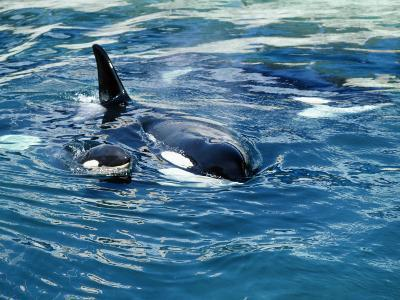 Killer Whale (Orcinus Orca) Mother with Calf-Jeff Foott-Photographic Print