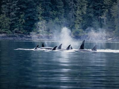 Killer Whale, Pod at Surface, BC, Canada-Gerard Soury-Photographic Print