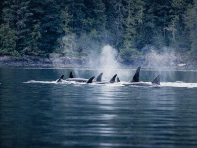https://imgc.artprintimages.com/img/print/killer-whale-pod-at-surface-bc-canada_u-l-q10qzqa0.jpg?artPerspective=n