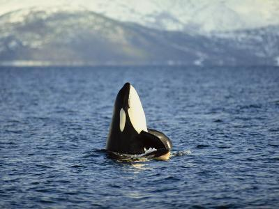 Killer Whale Spy Hopping with Calf in an Arctic Fjord, Norway, Scandinavia, Europe-Dominic Harcourt-webster-Photographic Print