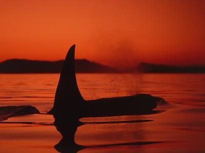 Killer Whale Swims on Surface, in Low Light, Spouting with Mountains in Background-Jeff Foott-Photographic Print