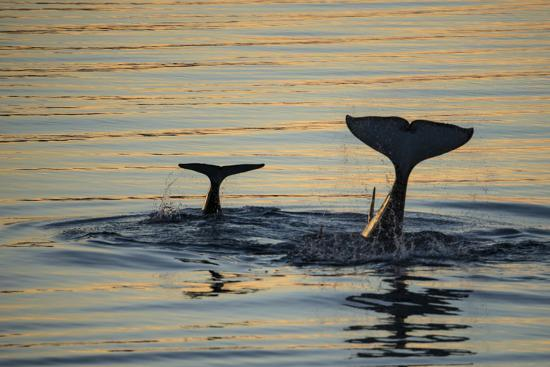Killer Whales, or Orcas Diving in Frederick Sound, Inside Passage, Alaska-Michael Melford-Photographic Print