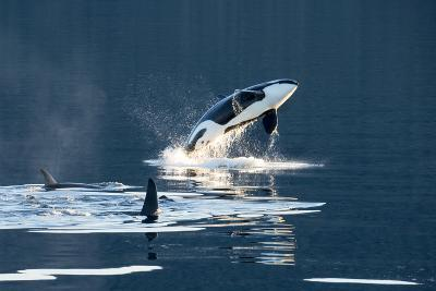 Killer Whales, or Orcas Leaping and Swimming in Frederick Sound, Inside Passage, Alaska-Michael Melford-Photographic Print
