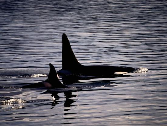 Killer Whales-Mark Newman-Photographic Print