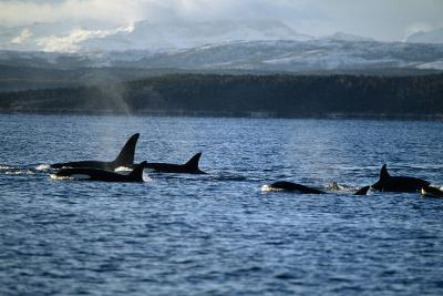 Killer Whales-Alexis Rosenfeld-Photographic Print