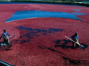 Workers Hard at it During the Cranberry Harvest of Cape Cod by Kim Grant