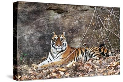 Bengal Tiger, Panthera Tigris Tigris, Bandhavgarh National Park, Madhya Pradesh, India