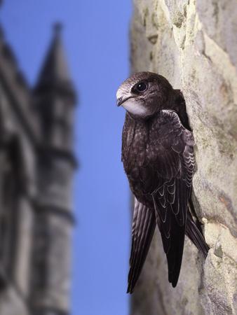 Digital Composite Common - European Swift (Apus Apus) Adult Clinging To A Building, UK