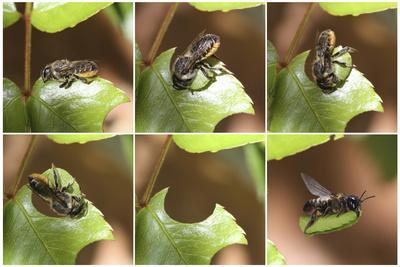 Leaf-Cutting Bee (Megachile Species) Sequence Showing Cutting Leaf Section From Rose