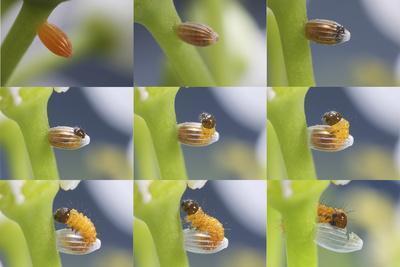 Orange-Tip Butterfly (Anthocharis Cardamines) Egg